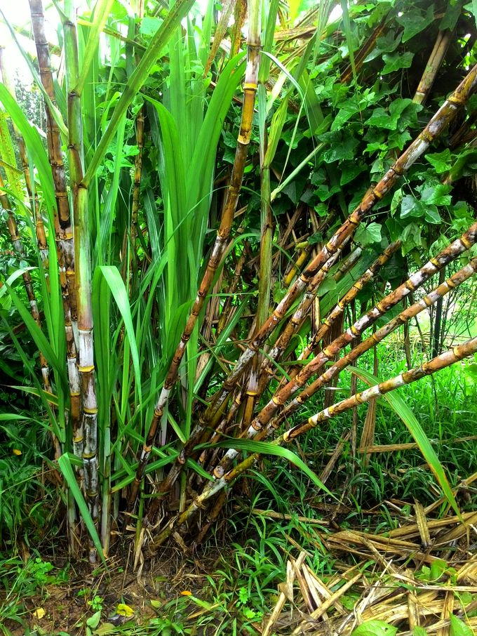 A clump of organic sugarcane growing in our compound