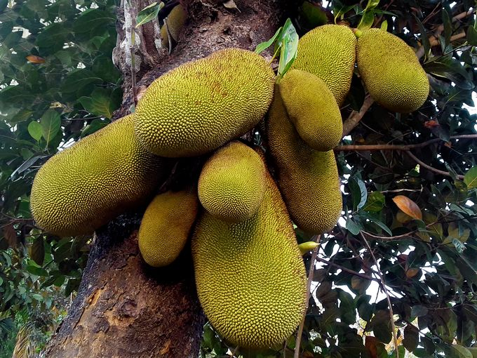 Jackfruit / Jack Tree / Jack Fruit / Jakfruit / Jak fruit