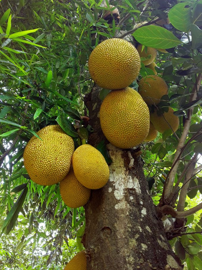 A jackfruit tree in our garden.