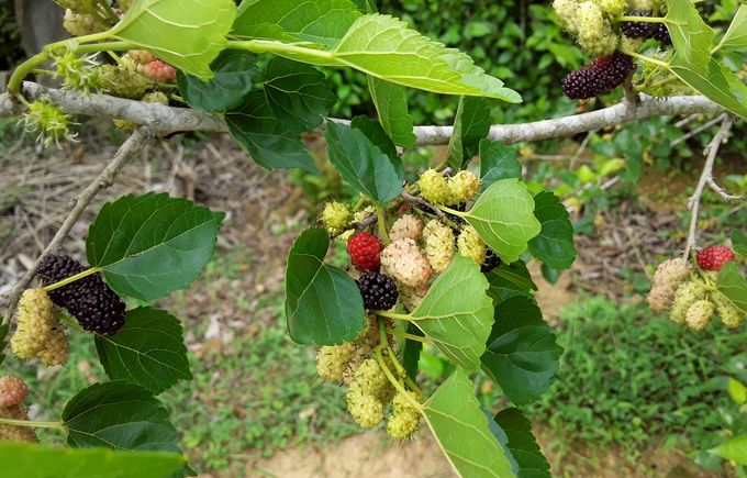 Delicious mulberries on a mulberry branch