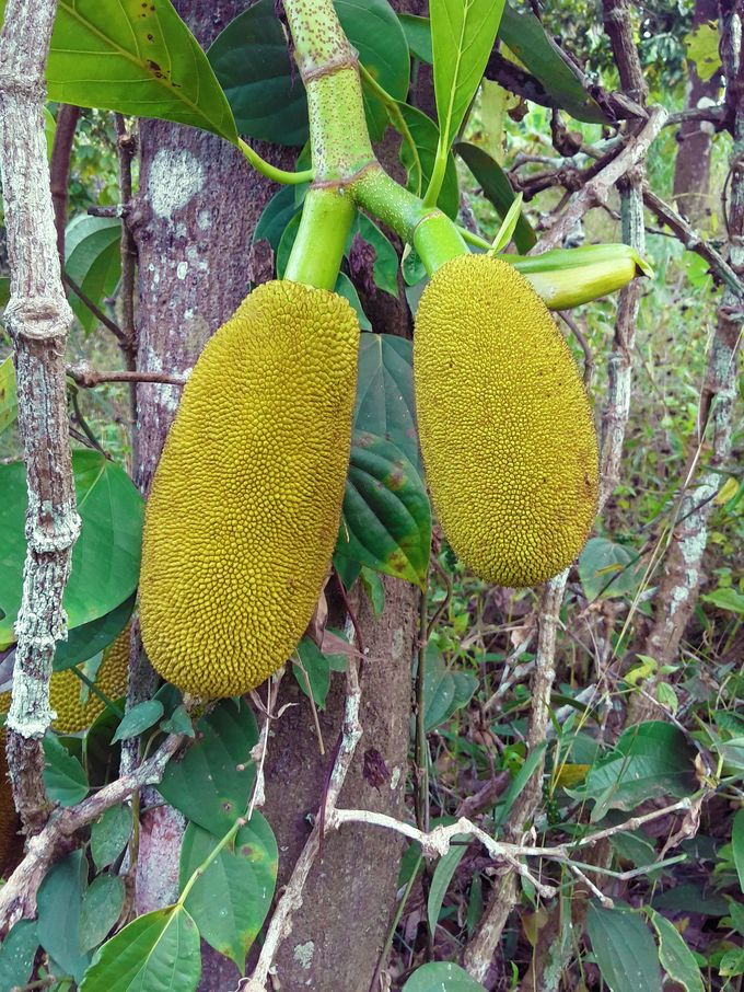 Tender jackfruit on one of our trees