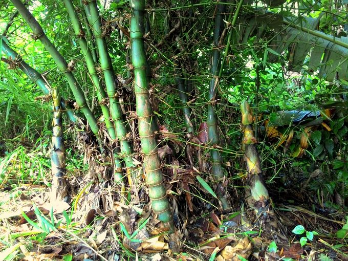 Bamboo shoots coming up on either side of the clump.