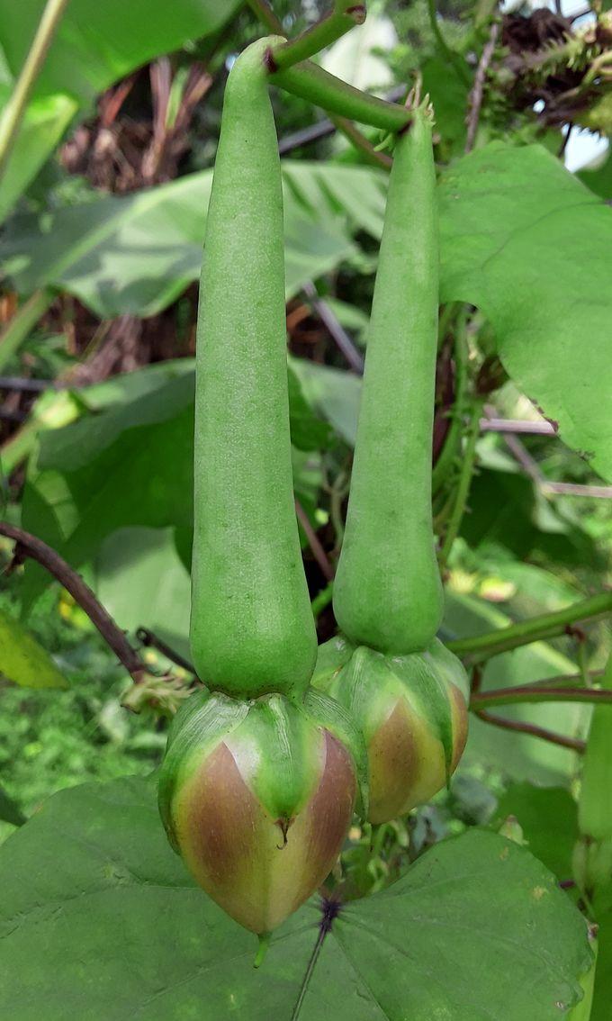 Mature clove beans (ipomoea muricata / nithya vazhuthana / nithya vazhuthanenga / nithyavazhuthana / നിത്യ വഴുതന / നിത്യവഴുതന) developing seed pods.
